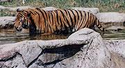 水浴びトラ