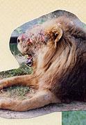 痛そうなライオン