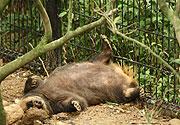 穴で寝ないアナグマ