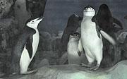 ヒゲペンギン