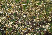 タピアの花