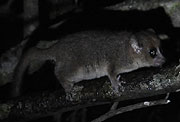 ネズミキツネザル