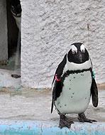奥でも睨むペンギン
