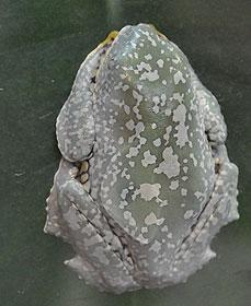 フリンジアマガエル