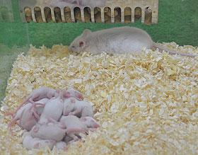 ネズミの子ども