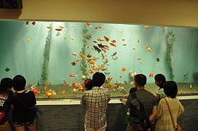 金魚たくさん